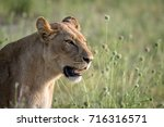 side profile of a lion in the... | Shutterstock . vector #716316571