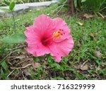 hibiscus rosa sinensis  chinese ... | Shutterstock . vector #716329999