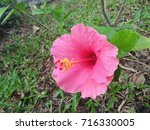 hibiscus rosa sinensis  chinese ... | Shutterstock . vector #716330005