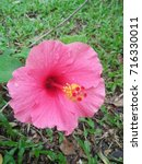 hibiscus rosa sinensis  chinese ... | Shutterstock . vector #716330011