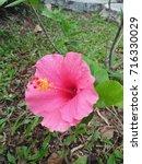 hibiscus rosa sinensis  chinese ... | Shutterstock . vector #716330029
