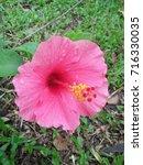 hibiscus rosa sinensis  chinese ... | Shutterstock . vector #716330035