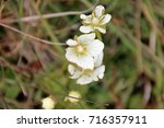 Small photo of Alpine wild flowers, androsace alpina , in Dolomites mountain at Puez odle natural park in Sud Tyrol, Alto Adige, Italy