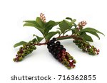 Small photo of Fruits of American pokeweed (Phytolacca americana). The root is alterative, anodyne, anti-inflammatory, cathartic, expectorant, hypnotic, narcotic and purgative. All parts of the plant are toxic.