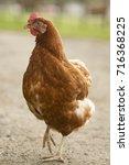 hen | Shutterstock . vector #716368225