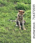Small photo of A young Cheetah (Acinonyx jubatus) learns to sit