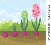 hyacinth growth stage. life... | Shutterstock .eps vector #716391721