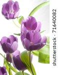 Beautiful Purple Tulips