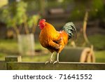 Jungle fowl on fence rail in...