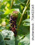 Small photo of Phytolacca americana or pokeweed green plant with purple black stem