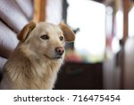 sad and bored dog lying outside ... | Shutterstock . vector #716475454