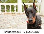 Black Doberman Dog In The Park...