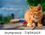 Stock photo ginger kitten 716541619