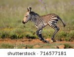 cape mountain zebra  equus... | Shutterstock . vector #716577181
