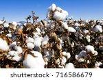 cotton field close up. | Shutterstock . vector #716586679