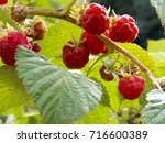 photo detail of some fresh red...   Shutterstock . vector #716600389