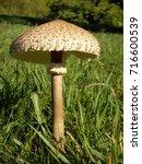 photo of high mushroom in green ...   Shutterstock . vector #716600539