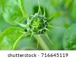 bud of sunflower. close up... | Shutterstock . vector #716645119