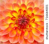 beautiful red and yellow dahlia ...   Shutterstock . vector #716664001
