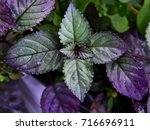 Small photo of Red flame ivy, Hemigraphis colorata - a wound-healing medicinal herb, juice from the leaves is an effective medicine to prevent bleeding, and to heal fresh wounds.