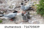 Small photo of Arctic Terns( Sterna paradisaea) with young