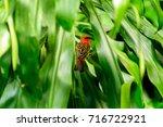 foudia rubra. madagascar fody...   Shutterstock . vector #716722921