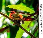 foudia rubra. madagascar fody... | Shutterstock . vector #716722939