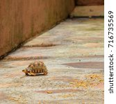 young turtle of seichelles just ... | Shutterstock . vector #716735569