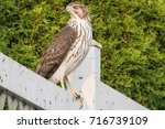 Small photo of Hawk on a fence/Hawk/Hawk watching