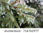 Branches Of Spruce Covered Wit...