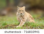 lynx  eurasian wild cat walking ... | Shutterstock . vector #716810941