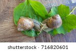 snail couple. snail love... | Shutterstock . vector #716820601