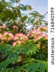 Small photo of Albizia julibrissin pink silk flower