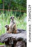 Two Slender Tailed Meerkats ...