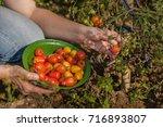 woman picking small cherry vine ... | Shutterstock . vector #716893807