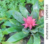 Small photo of A tropical Aechmea Bromelia flower with characteristic spiky, pink leaves
