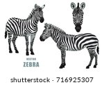 zebra set. vector isolated... | Shutterstock .eps vector #716925307