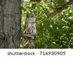 northern spotted owl watching... | Shutterstock . vector #716930905
