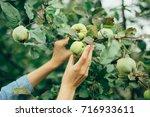 woman hand picking an apple | Shutterstock . vector #716933611