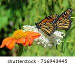 two monarch butterflies and... | Shutterstock . vector #716943445