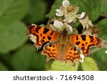 Comma Butterfly  Polygonia C...
