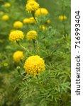yellow flower in flower field... | Shutterstock . vector #716993404