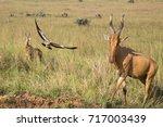 Small photo of Two Lelwel hartebeests (Alcelaphus buselaphus lelwel) and a bird taking flight at Murchison Falls National Park, Uganda.