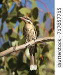 Small photo of A Spiny-cheeked Honeyeater, Acanthagenys rufogularis, sitting on a tree branch with foliage in background