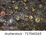 Aeonium Clusters On Vertical...