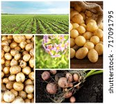 collage of potatoes and plants | Shutterstock . vector #717091795