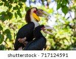 wreathed hornbill bird in bali... | Shutterstock . vector #717124591