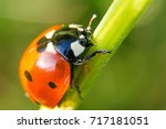 macro of a red ladybug | Shutterstock . vector #717181051