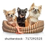 dog family  chihuahua on white... | Shutterstock . vector #717292525