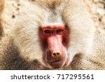 portrait of a baboon monkey ... | Shutterstock . vector #717295561